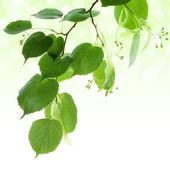 Fresh green linden leaves border isolated on white with copy space — Stock Photo