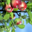 Red apples on an apple-tree branch in the garden — Stock Photo