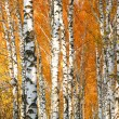 Autumn yellowed birch forest — 图库照片