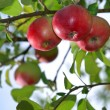 Red apples on an apple-tree branch in the garden — Stock Photo #12853529