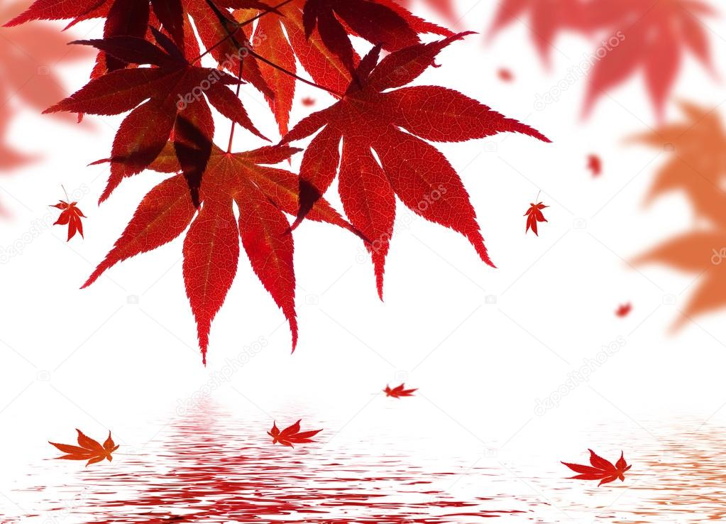 A beautiful red maple branch reflected in water with falling leaves in a pond  Stock Photo #12852645