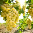 Grapes in the vineyard — Stock Photo #13375775