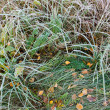 Autumn background with red leaves on grass in morning frost — Stock Photo #13557636