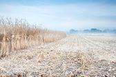Autumn corn field in the morning mist — Stock Photo