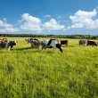 Cows grazing in green meadow — Stock Photo #18366273