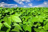 Campo de soja — Foto de Stock