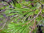 Pine needles with water drops — Stock Photo