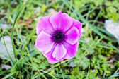 Purple Daisy — Stockfoto