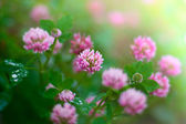 Pink clover — Stock Photo