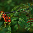 Stock Photo: Autumn mountain ash