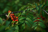 Autumn mountain ash — Stock Photo
