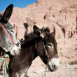 Two donkeys in Jordan, Petra — Stock Photo