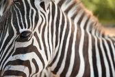 Portrét zebra — Stock fotografie