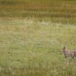 Coyote roams the meadows in the Rocky Mountain region — Stock Photo