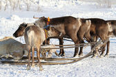 House reindeers — Stock Photo
