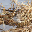 Sandpiper — Stock Photo