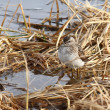 The sandpiper on a bog — Stock Photo