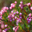 Bog-rosemary — Stock Photo
