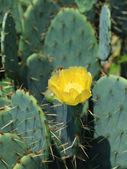 Opuntia species — Stock Photo