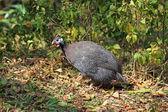 Guinea fowl — Zdjęcie stockowe