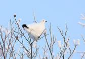 The white partridge — Stock Photo