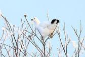 The white partridge — Foto Stock