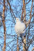 The white partridge — ストック写真