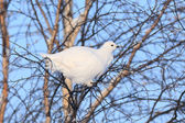 The white partridge — Foto de Stock