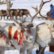 Stock Photo: Reindeers