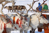 Reindeers — Stock Photo