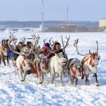 Trip on reindeers — Stock Photo