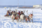 Trip on reindeers — Stock Photo