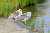 Two young seagulls — Stock Photo