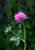 Trifolium pratense — Stock Photo