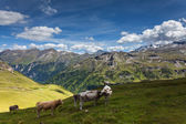 Cows graze in the mountains. — Stock Photo