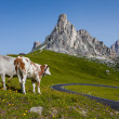 Mountain landscape - Road and cows. — Stock Photo