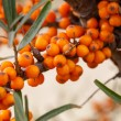 Hippophae rhamnoides - source of vitamin C — Stock Photo