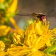 Stock Photo: Marmalade hoverfly frontal portrait