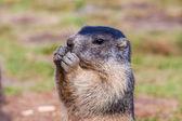Marmot jovem enquanto come — Foto Stock