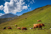 Cattle on pasture in the Alps — Stock Photo