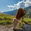 Cow on a mountain pasture in the Alps — Stock Photo