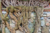 Roots of overgrowing medieval wall — Stock Photo