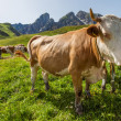 Cows on pasture in the Dolomites — Stock Photo