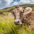 Cow on a mountain pasture — ストック写真