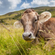 Cow on a mountain pasture — Stock Photo #38566107
