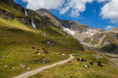 Cows on pasture in the Alps — Stock Photo