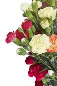 Garofani fiori isolati — Foto Stock