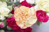 Carnations — Stockfoto