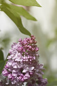 Tak van lila bloemen met de bladeren — Stockfoto