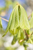 The leaves of chestnut (Aesculus hippocastanum) — Stock Photo